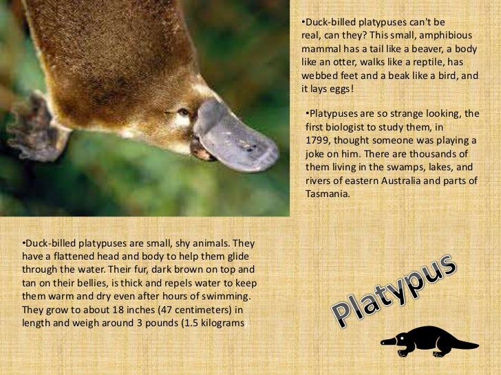 •Duck-billed platypuses cant be                                                          real, can they? This small, amphi...