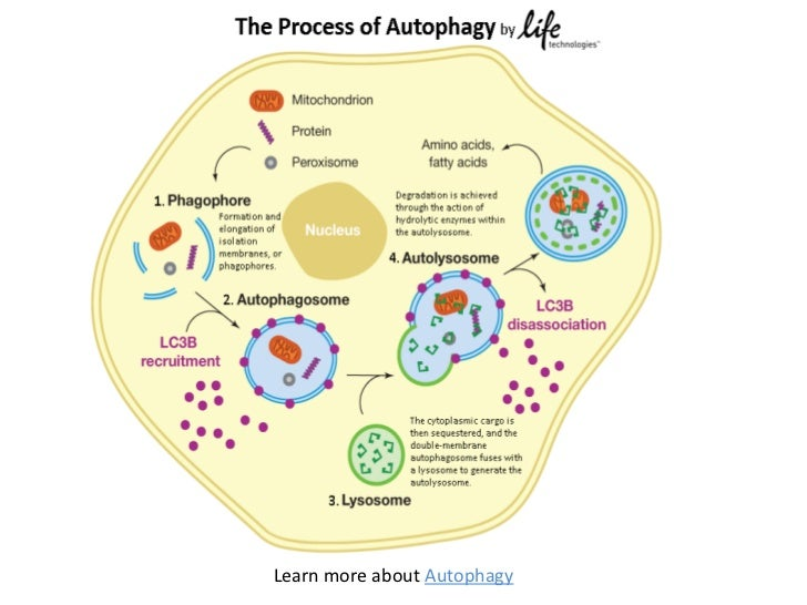 The Process of Autophagy | What is Autophagy?