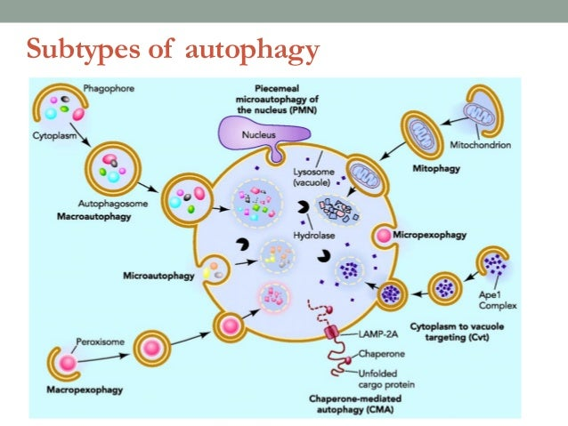 Sp 11 likewise Dendritic Cell Illustration as well Ir Audio Receiver And Transmitter together with File Hematology Fishbone Schematic also Autophagy Implications In Neurodegeneration Fitness Exercise And Beyond. on cell diagram