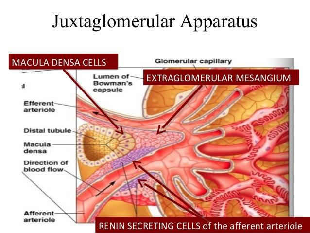 Extraglomerular Mesangial Cells EXTRAGLOMERULAR MESANGIUM