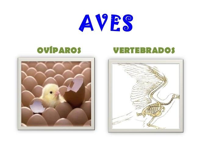 AVES OVÍPAROS VERTEBRADOS