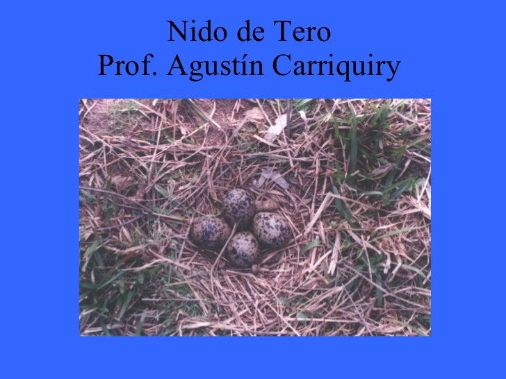 Nido de Tero   Prof. Agustín Carriquiry