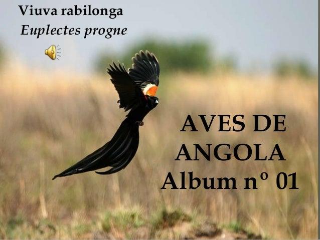 AVES DE ANGOLA Album nº 01 Viuva rabilonga Euplectes progne