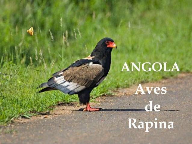ANGOLA Aves de Rapina