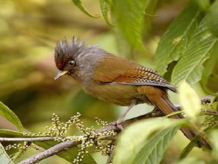 Avesdel Himalaya Himalayan Birds