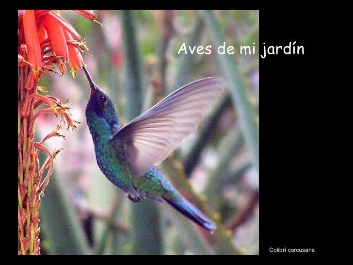 Colibrí corcusans Aves de mi jardín