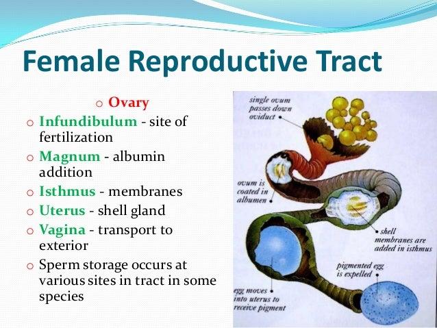 histology-of-avian-female-reproductive-system-4-638.jpg?cb=1353909580