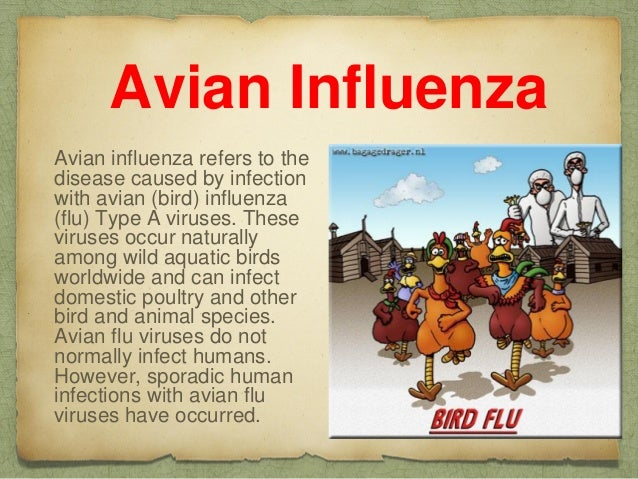 """spanish flu infects birds humans and Answer to a bad case of the spanish flu introduction influenza, commonly called the """"flu,"""" is a virus that infects birds jumped from birds directly to humans."""