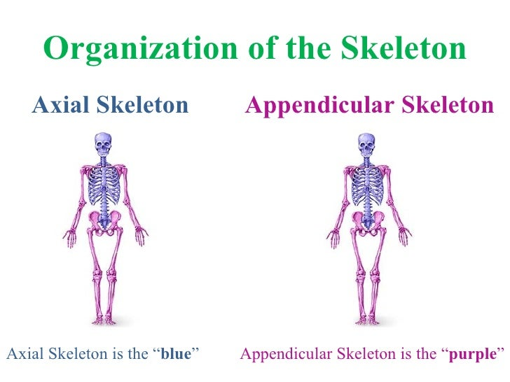 Organization of the Skeleton <ul><li>Axial Skeleton </li></ul><ul><li>Appendicular Skeleton </li></ul>Axial Skeleton is th...