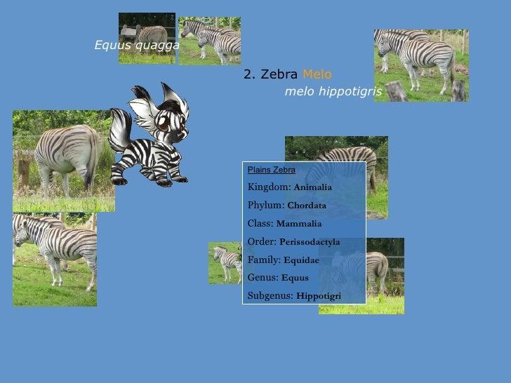 Zebra Classification Zebra Melo melo hippotigris