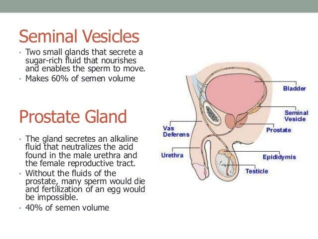 B 1 Male  U0026 Female Reproductive Anatomy