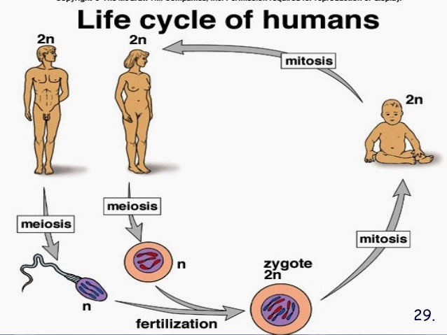 the life cycle of a human cell Mammals begin as an egg cell fertilized by a sperm cell  what is the life cycle of a mammal a:  what are the human life cycle stages.