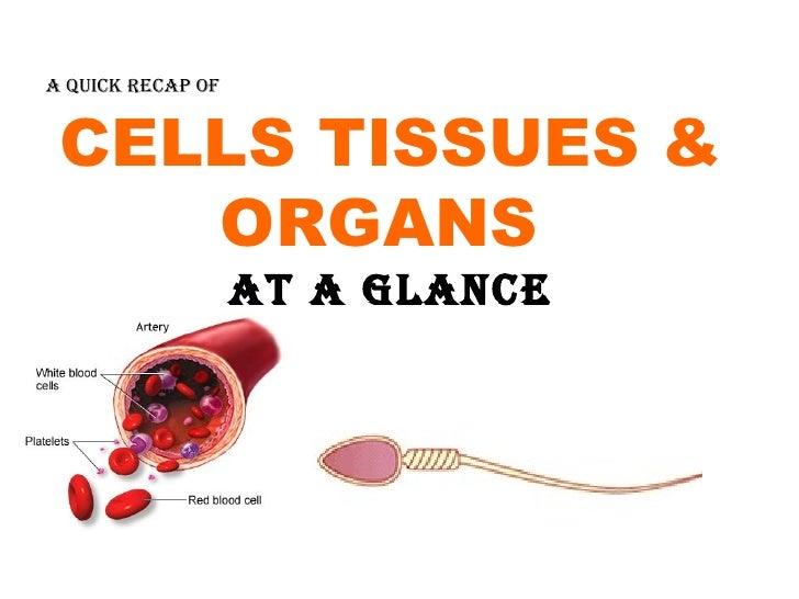 CELLS TISSUES & ORGANS  AT A GLANCE A QUICK RECAP OF