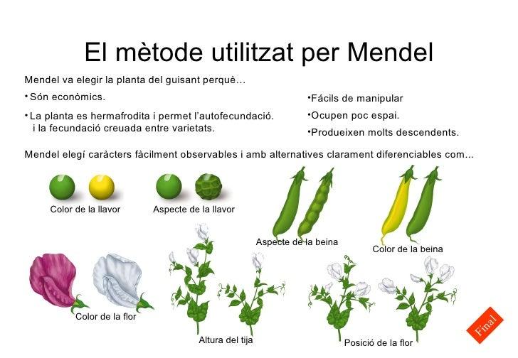 El mètode utilitzat per Mendel <ul><li>Fácils de manipular </li></ul><ul><li>Ocupen poc espai. </li></ul><ul><li>Produeixe...