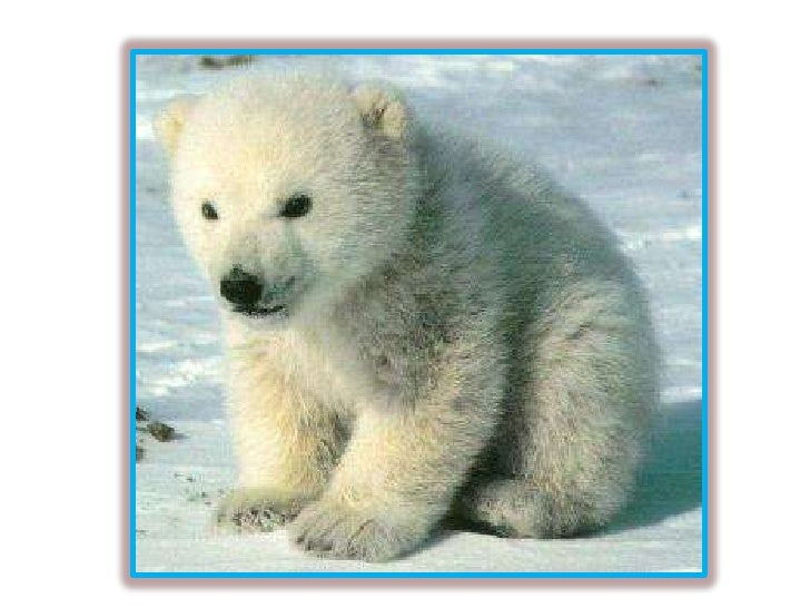 "Baby ""Flocke"" The Polar Bear"