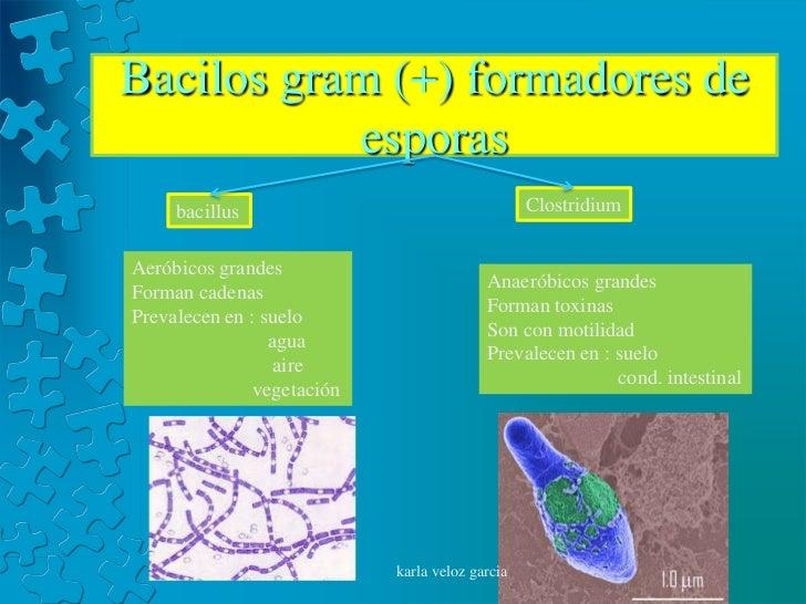 Bacilos gram (+) formadores de           esporas     bacillus                                    ClostridiumAeróbicos gran...