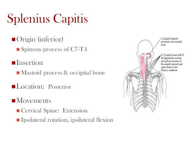 Spinalis Capitis Origin Splenius Capitis origin