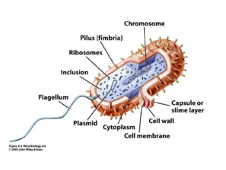 pertussis cell diagram bacterial    cell     bacterial    cell