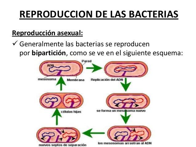 Reproduccion asexual bacteriana pdf