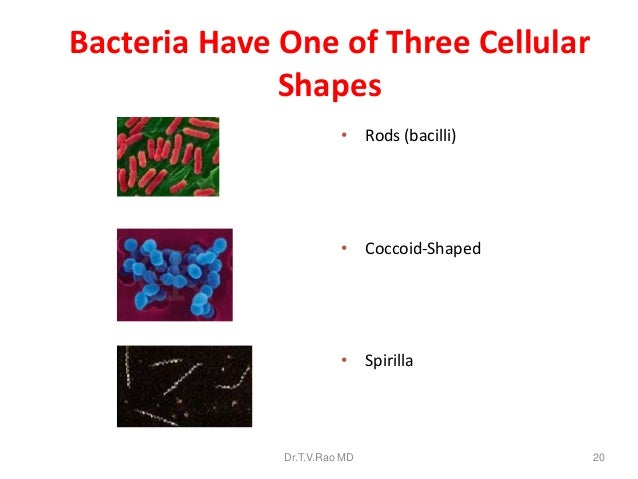 What are the three basic shapes of bacteria  Answerscom