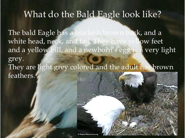 Bald Eagle Eating Deer What Does The Bald Eagle Eat