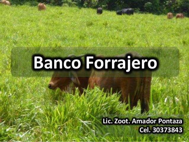 Banco Forrajero        Lic. Zoot. Amador Pontaza                     Cel. 30373843