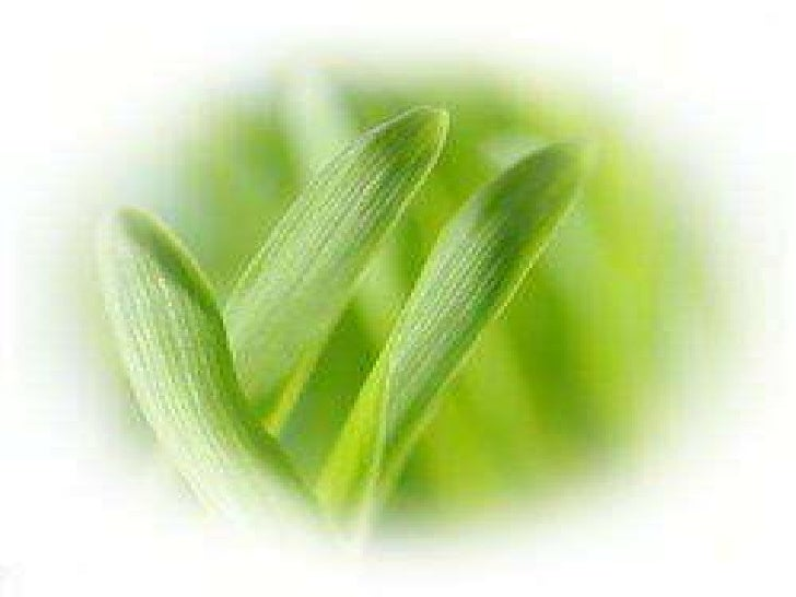 Barley grass is good for many illnesses