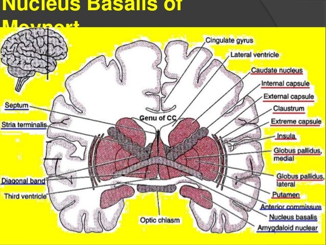 1 2 7 2 roentgen schulter further Anatomy Of Thalamus additionally 2008 Generalidades further Basal Forebrain  ponents Schizophrenia Limbic Connections Sanjoy Sanyal together with Oropharyngeal Cancer. on dorsal ventral anterior posterior