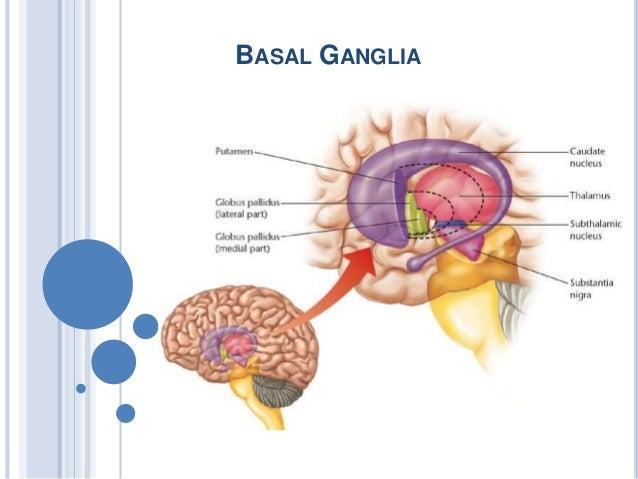 Basal Ganglia Clinical Anatomy Physiology