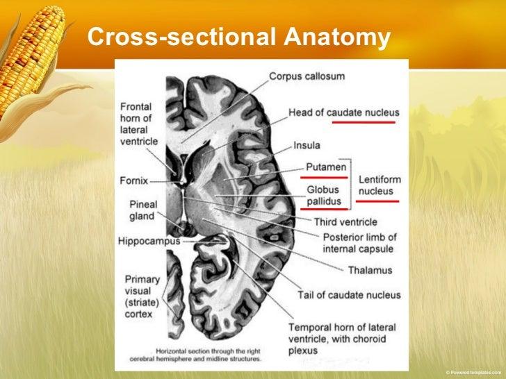 Brain anatomy review