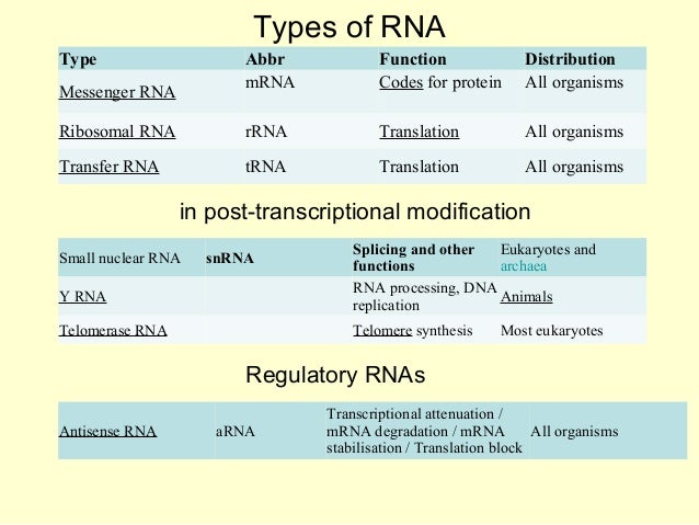 ribosomal rna sythesis