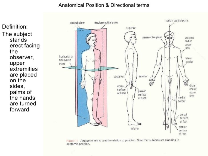 Anatomy terms and definitions