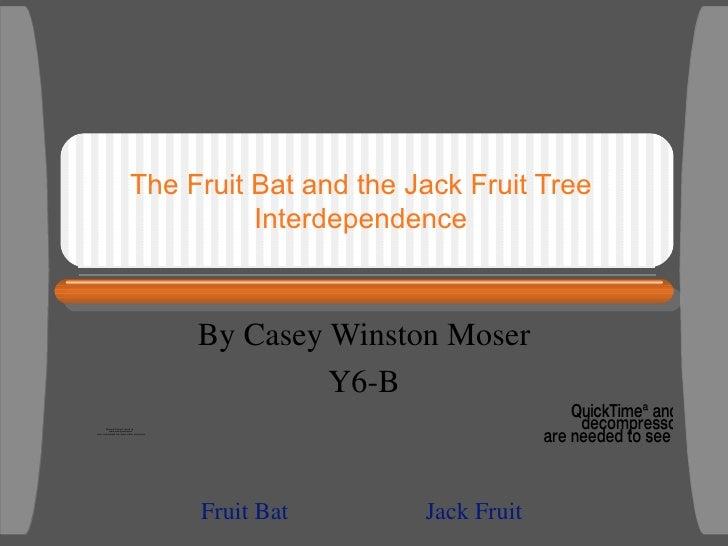 The Fruit Bat and the Jack Fruit Tree Interdependence By Casey Winston Moser Y6-B Fruit Bat Jack Fruit
