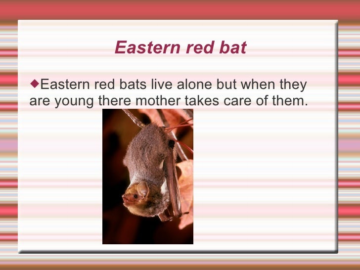 Eastern red bat <ul><li>Eastern red bats live alone but when they are young there mother takes care of them. </li></ul>