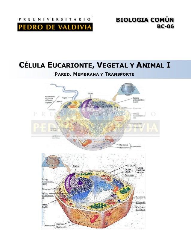 BIOLOGIA COMÚN BC-06  CÉLULA EUCARIONTE, VEGETAL Y ANIMAL I P ARED , M EMBRANA  Y  T RANSPORTE