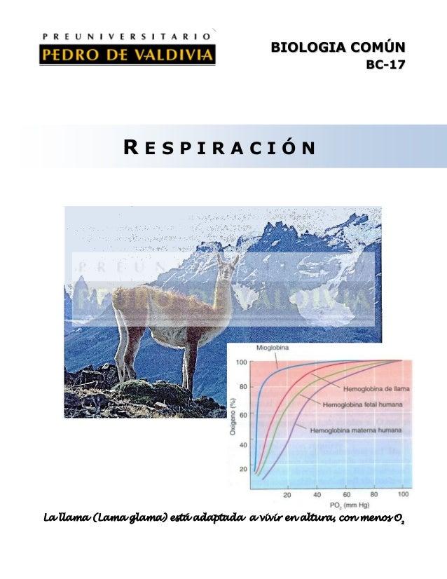 BIOLOGIA COMÚN BC-17  RESPIRACIÓN  La llama (Lama glama) está adaptada a vivir en altura, con menos O2