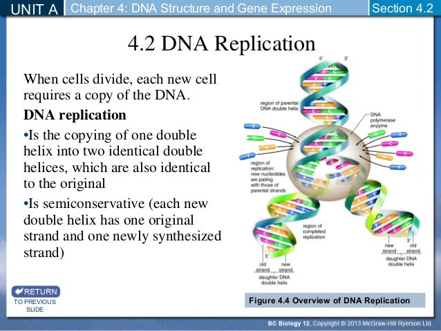 Dna structure and replication section review 7 2 answers