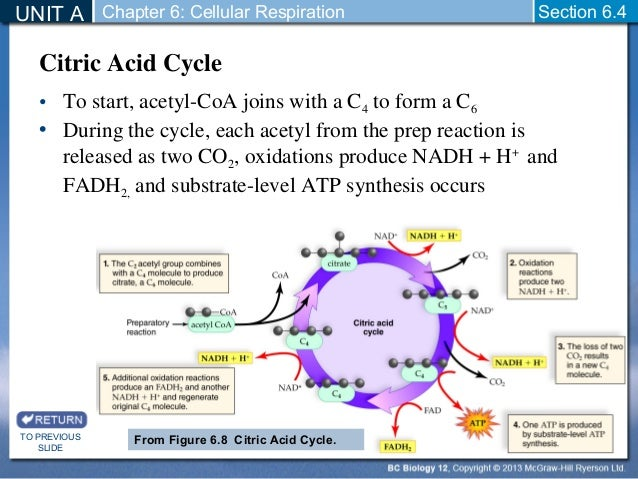Citric Acid Cycle Net Input And Output Citric Acid Cycle by The