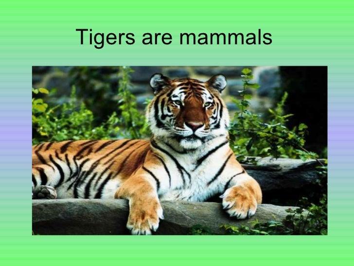 Tigers are mammals