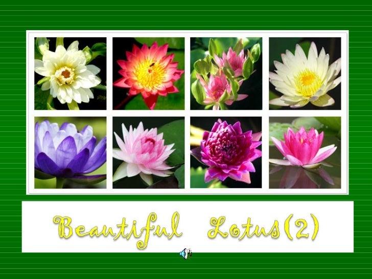 Beautiful Lotus(2)