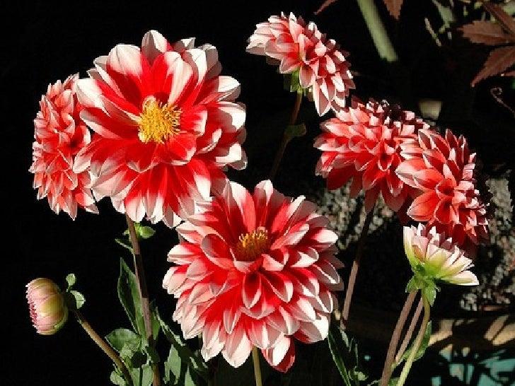 Beautiful Dehlia Flowers