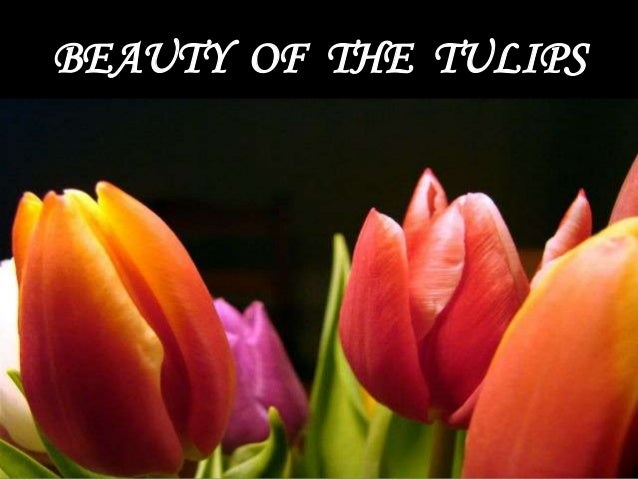 Beauty of the Tulips