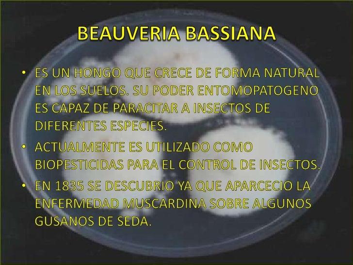 BEAUVERIA BASSIANA<br />ES UN HONGO QUE CRECE DE FORMA NATURAL EN LOS SUELOS. SU PODER ENTOMOPATOGENO ES CAPAZ DE PARACITA...
