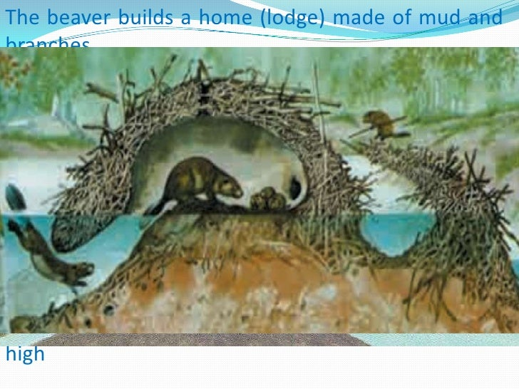 Beaver lodge diagram - photo#26