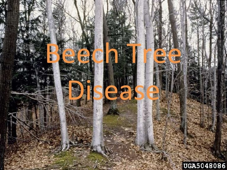 Beech Tree Disease