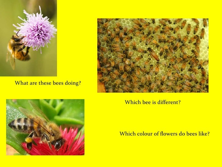 Which bee is different? What are these bees doing? Which colour of flowers do bees like?