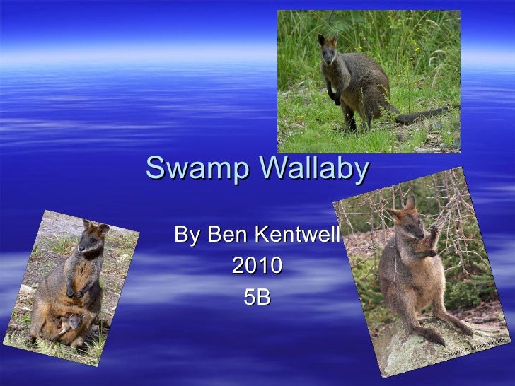 Swamp Wallaby By Ben Kentwell 2010 5B