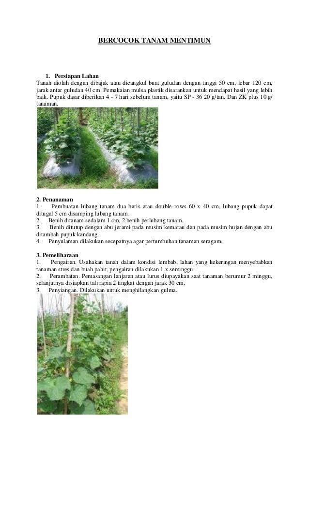 BERCOCOK TANAM MENTIMUN  1. Persiapan Lahan Tanah diolah dengan dibajak atau dicangkul buat guludan dengan tinggi 50 cm, l...