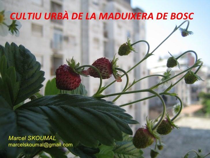 CULTIU URBÀ DE LA MADUIXERA DE BOSCMarcel SKOUMALmarcelskoumal@gmail.com
