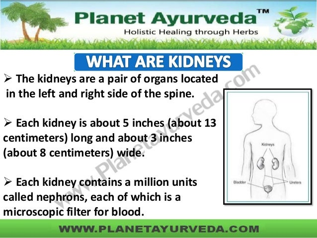  The kidneys are a pair of organs located in the left and right side of the spine.  Each kidney is about 5 inches (about...
